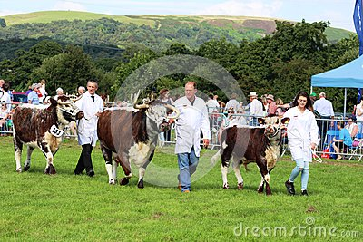 Longhorn cattle in grand parade, Garstang show
