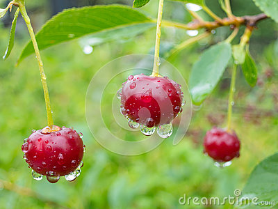 Red cherry berries on a tree branch with water drops.