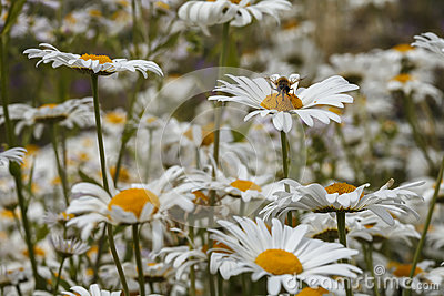 A bee on a daisy in a field of many white daisies