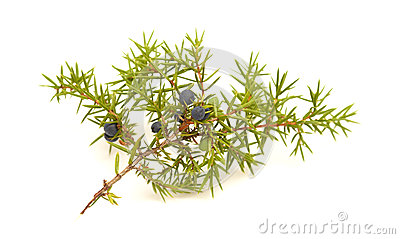 common juniper twig with ripe and unripe berries