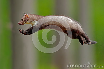 Flying cute forest animal. Jumping beech marten, small opportunistic predator in nature habitat. Stone marten, Martes foina, in ty