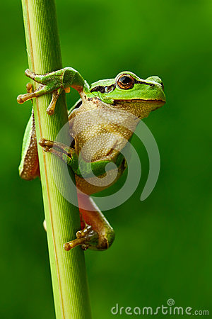 Nice green amphibian European tree frog, Hyla arborea, sitting on grass with clear green background. Beautiful amphibian in the na