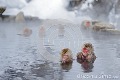 Monkey Japanese macaque, Macaca fuscata, family with baby in the water, red face portrait in the cold water with fog, two animal