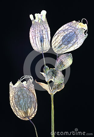 Pressed translucent flowers