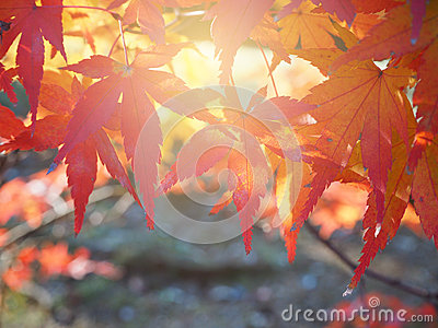 Red Japanese Maple leave