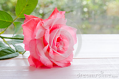 Beautiful pink rose on a white wooden table with light booked