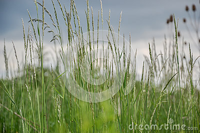 Meadow grass. Blowing wind bend blades of grass in field