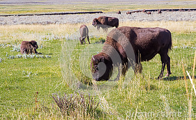 American bison buffalo in Yellowstone national park,grazing.USA