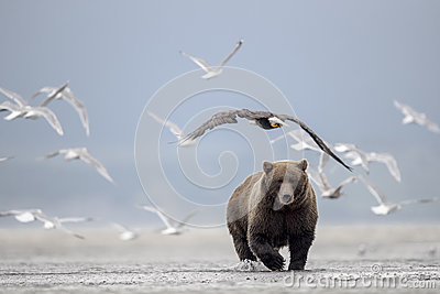 Grizzly bear, Sea Gulls and Bald Eagle.