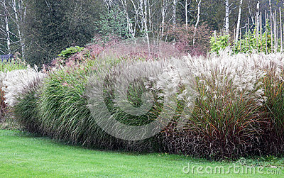 A large group of high-growing ornamental grasses