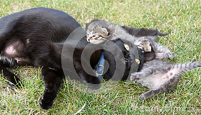 Black cat playing with her little kittens