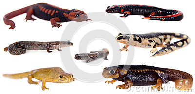 Newts and salamanders on white