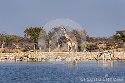 stock image of group of wild animals near a waterhole in the etosha national park, in namibia