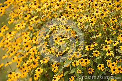 bright yellows shine from the brown eye susan