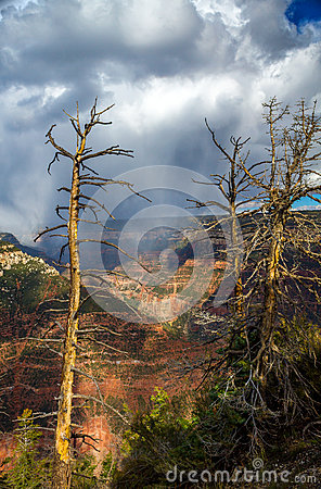 Dead Trees In Front of a Grand Canyon Storm