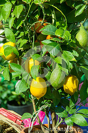 lemon tree in a pot with fruits,