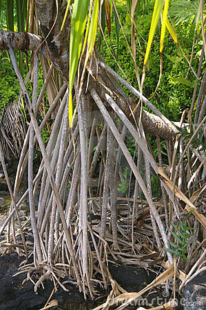 Western Samoa - tree roots