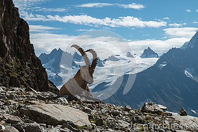Ibex , French alps