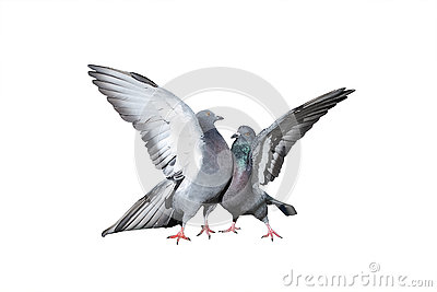 A pair of rock pigeons cooing and kissing spread its wings and feathers