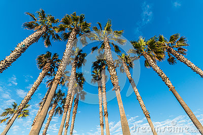 Group of Tall Palm Trees with Blue Sky and Clouds