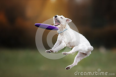Dog catching disk in jump