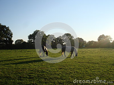 Two horses in a field at sunset