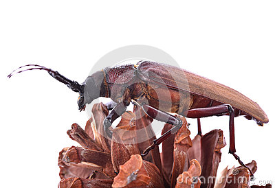 Insescts-Long-horned beetle on white background.