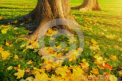 Autumn leaves under the autumn trees at sunset - autumn park in sunshine with autumn leaves on the ground