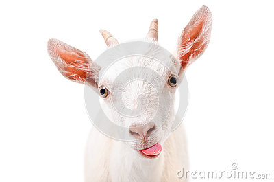 Portrait of a funny goat showing tongue