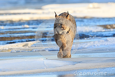 Lynx prowling for prey