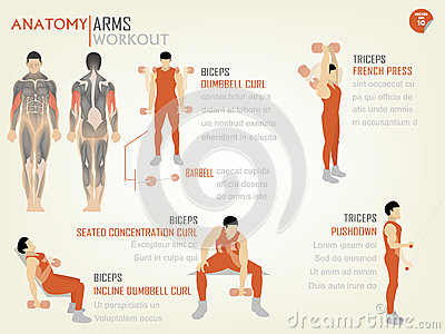Beautiful design info graphic of arm workoutbiceps