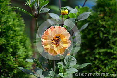Bee on a Yellow Dahlia
