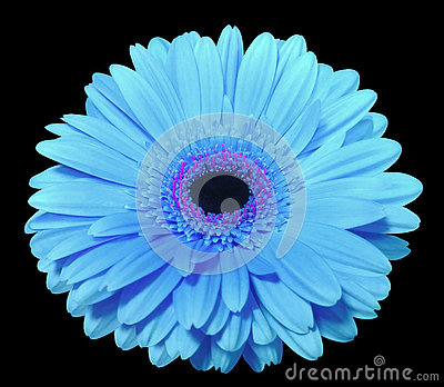 Blue gerbera flower, black isolated background with clipping path. Closeup.,