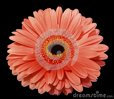 Red  gerbera flower, black isolated background with clipping path. Closeup.
