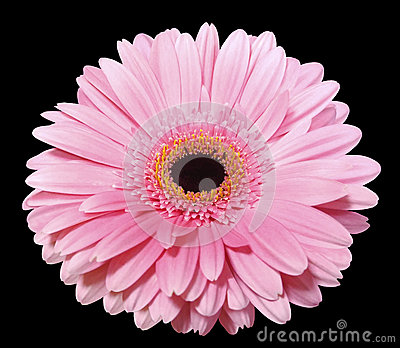 Pink gerbera flower, black isolated background with clipping path. Closeup..