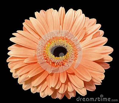 Orange gerbera flower, black isolated background with clipping path. Closeup..