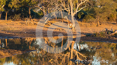 Giraffe walking towards waterhole at sunset. Wildlife Safari in the Mapungubwe National Park, South Africa. Scenic soft warm light