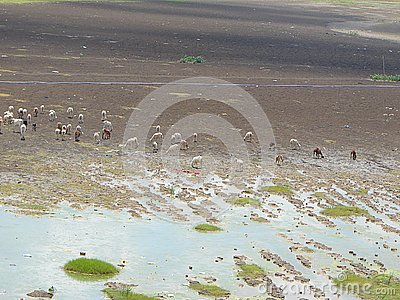 Grazing Cattle in a Dry Riverbed at time of Famine in Hot Summer
