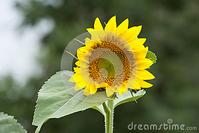 Bright happy sunflower opening to great a new day in the garden