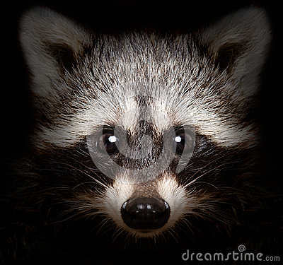 Portrait of a cunning raccoon
