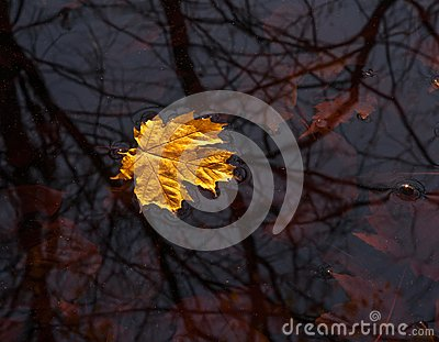 Yellow maple leave floating on the water,