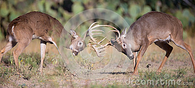 Whitetail fight