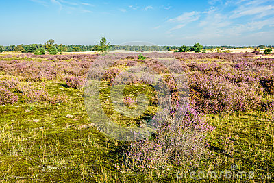 Dutch natural area of heathland in summertime