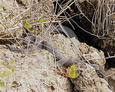 Water Moccasin on the rocks