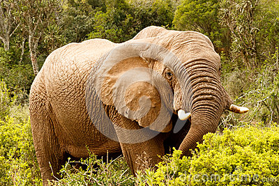 Elephant stretching down with his trunk