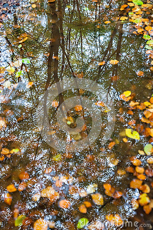 Autumn leaves in a puddle. with refelction of forrest