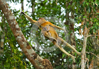 The female proboscis monkey with a baby of jumping from tree to tree in the jungle. Indonesia. The island of Borneo Kalimantan.
