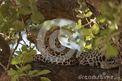 Leopard resting on a branch in the Ruaha national park.