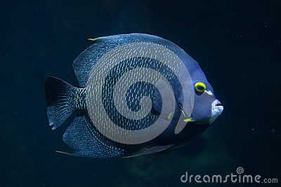 French angelfish Pomacanthus paru.