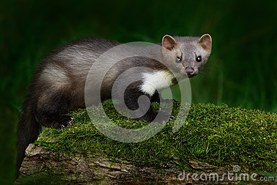 Stone marten, Martes foina, with clear green background. Beech marten, detail portrait of forest animal. Small predator sitting on
